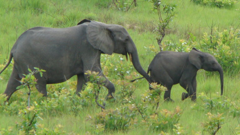 Forest elephant mother and calf
