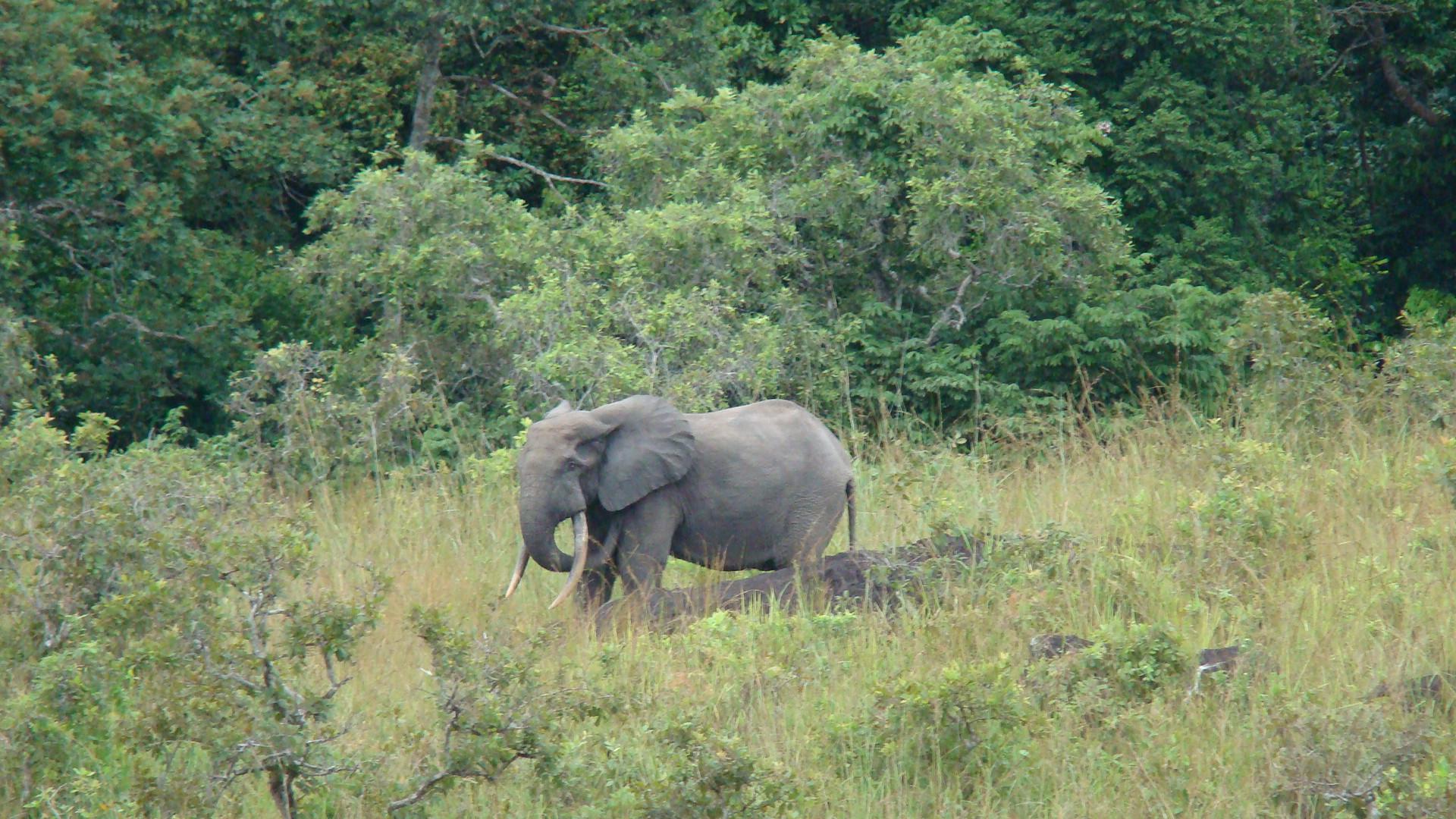 Forest elephant ear