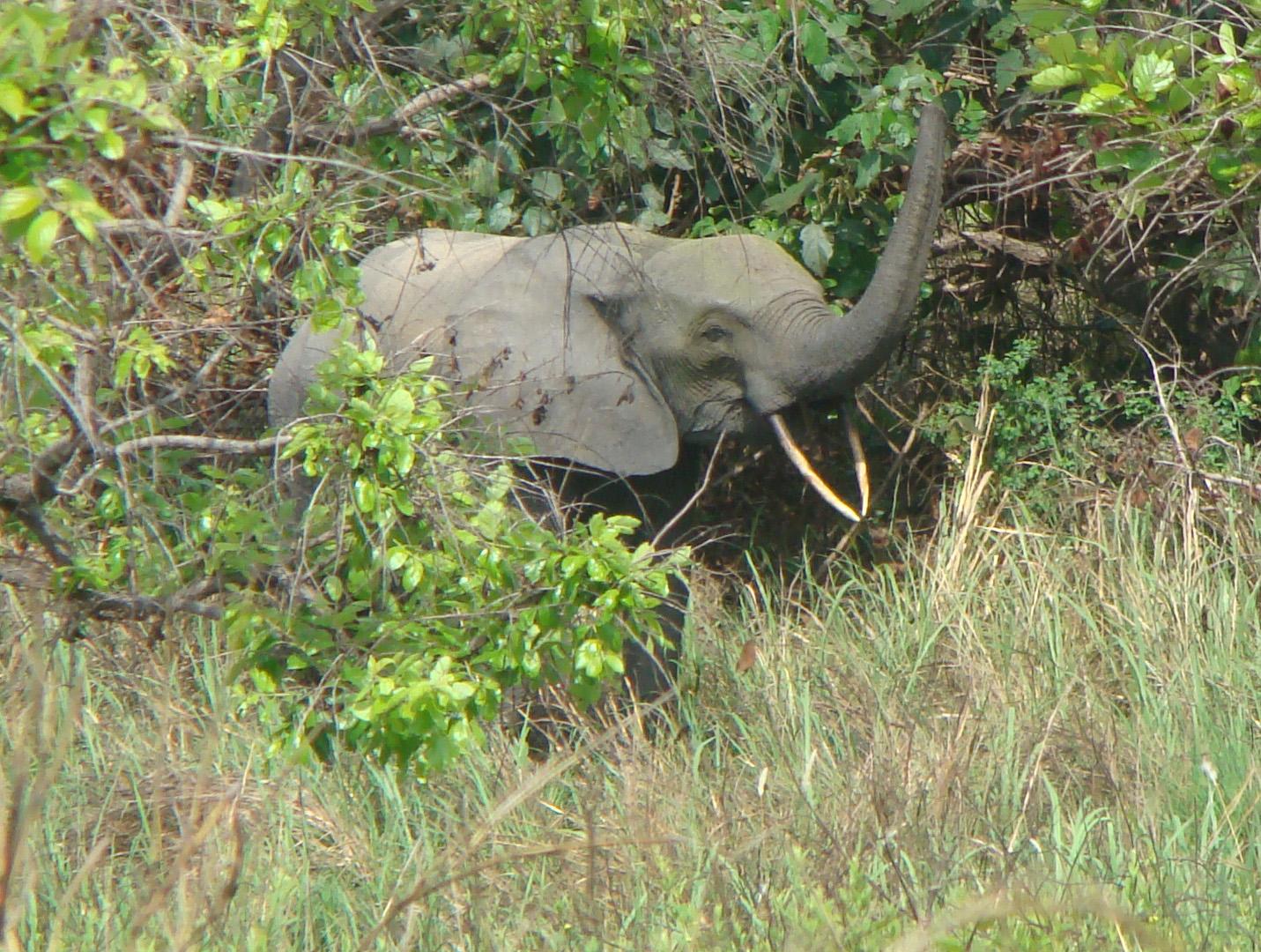 Forest elephant.