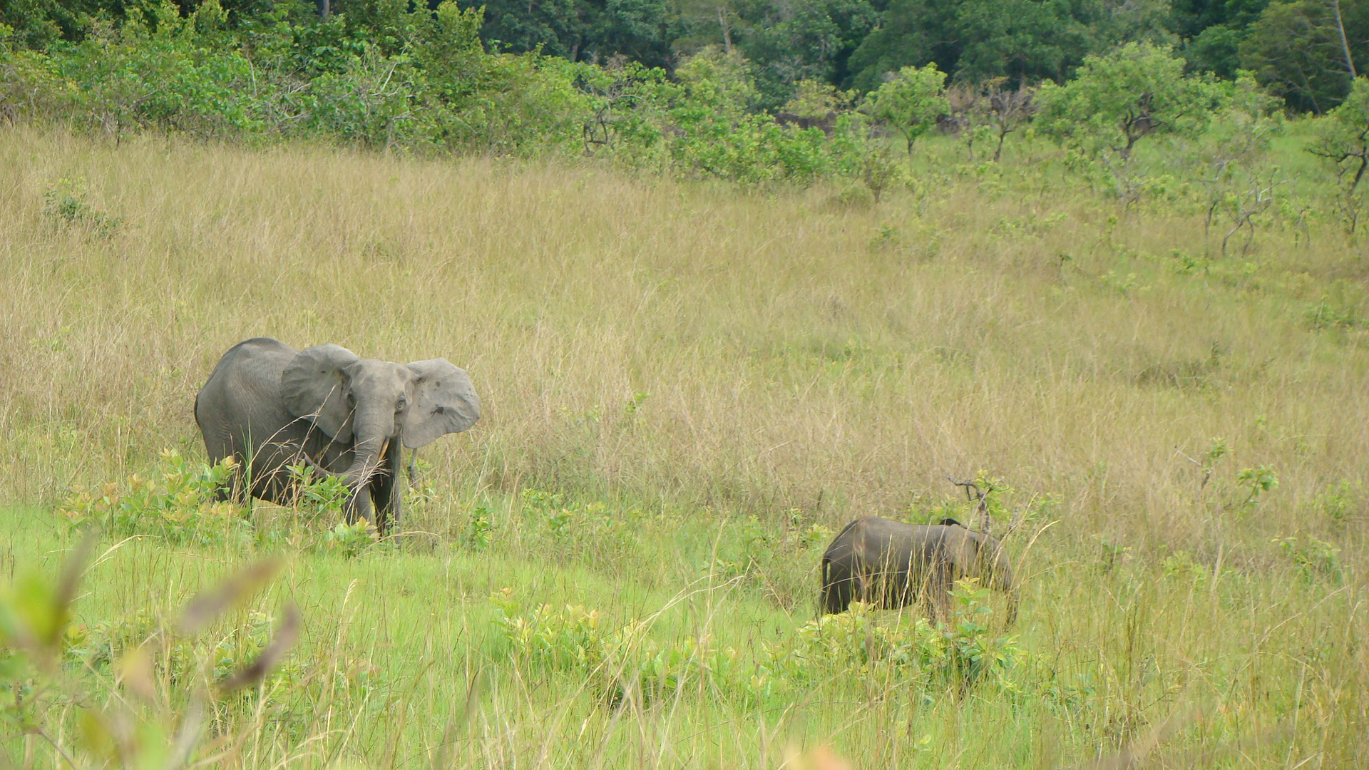 female forest elephant