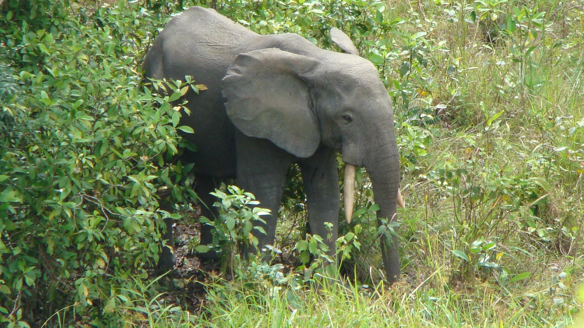 forest elephant ear tear