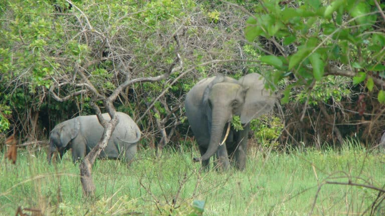 Why did I choose to study forest elephants?