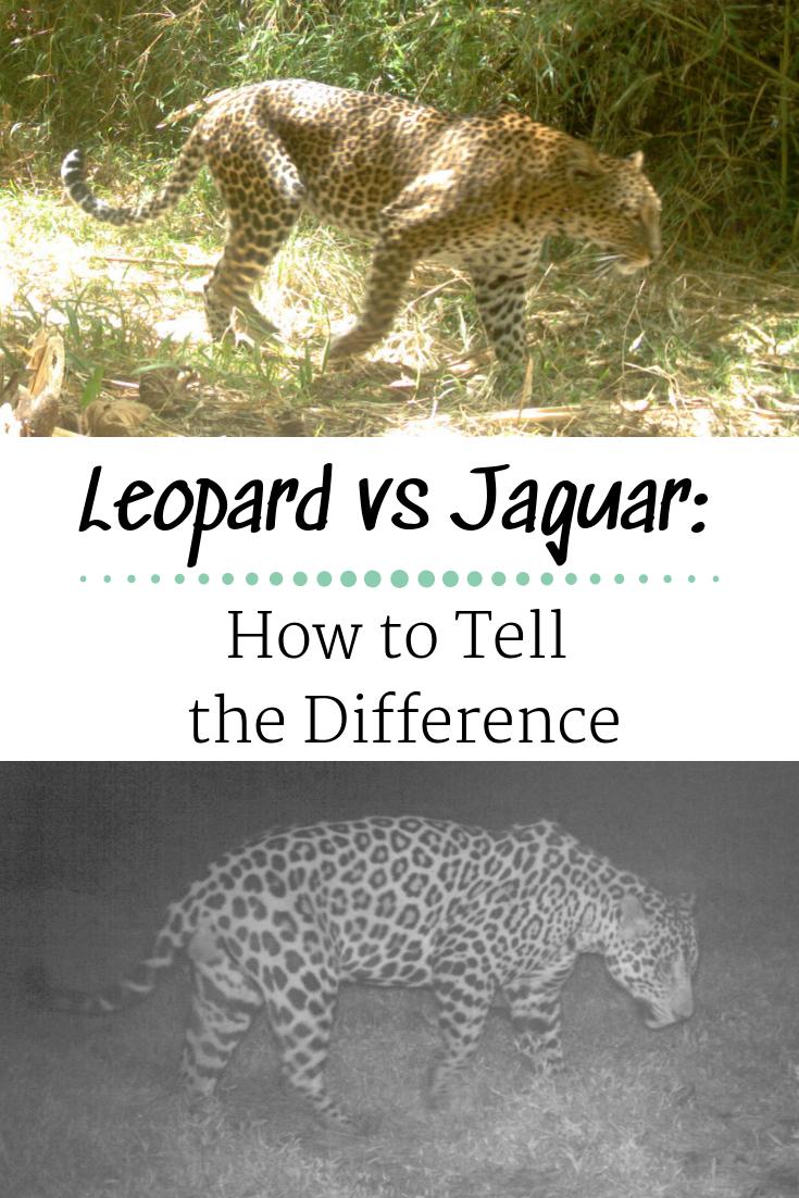 leopard and jaguar