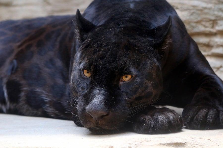 Melanistic black jaguar.