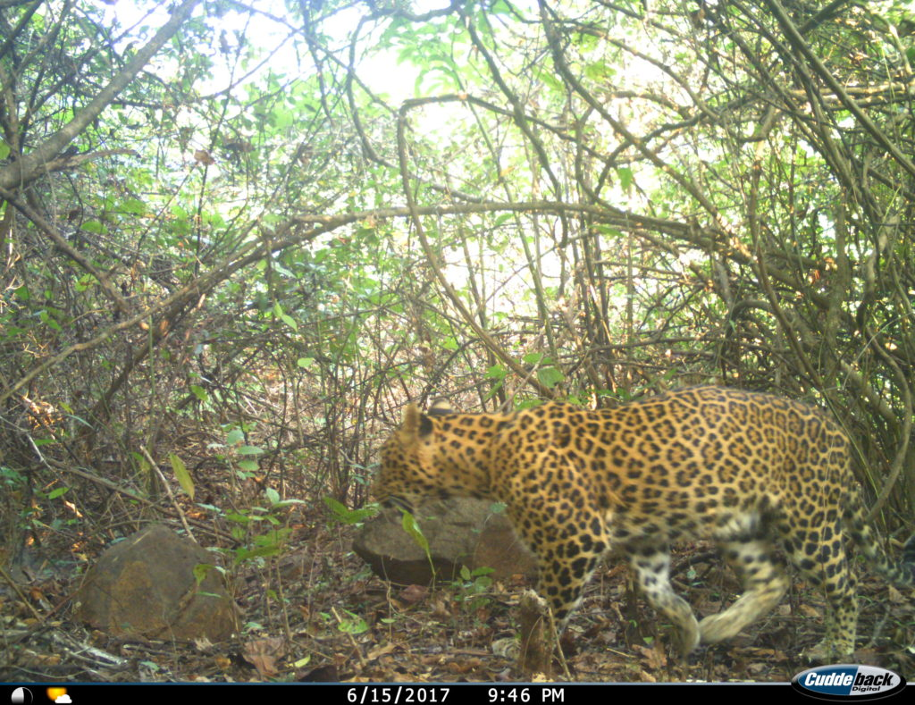Leopard from India