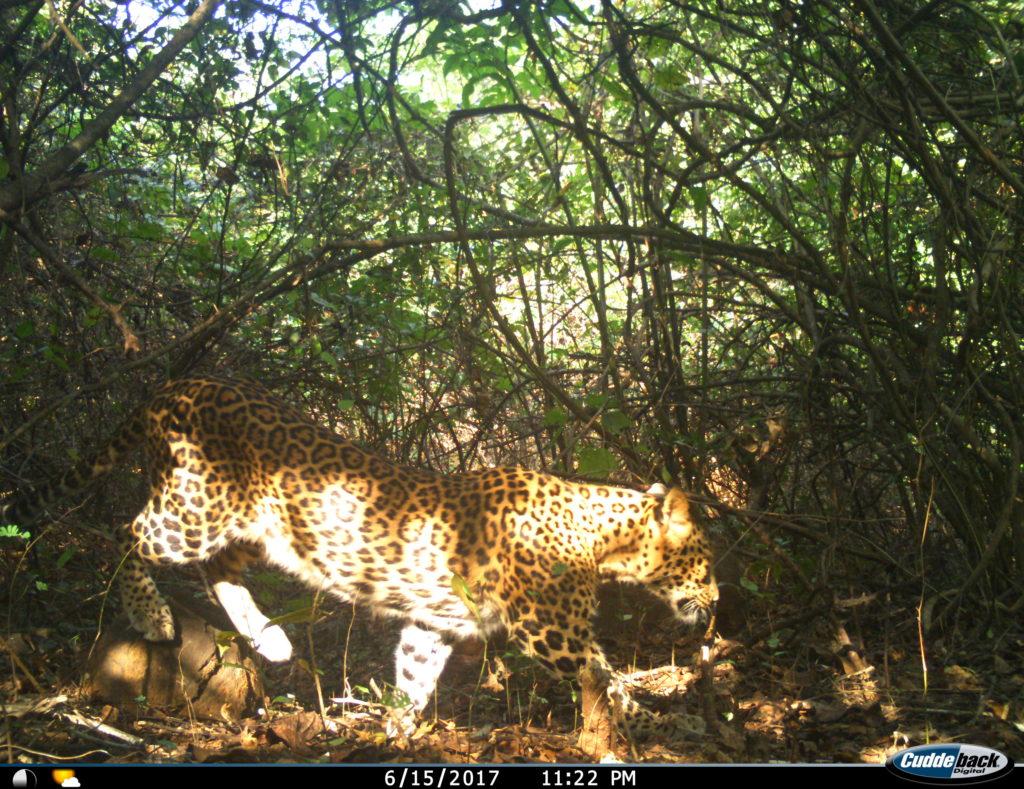 Leopard print rosettes