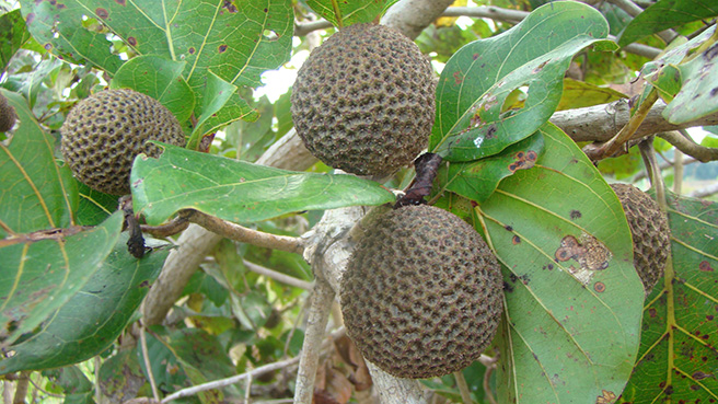 Forest fruit in Gabon