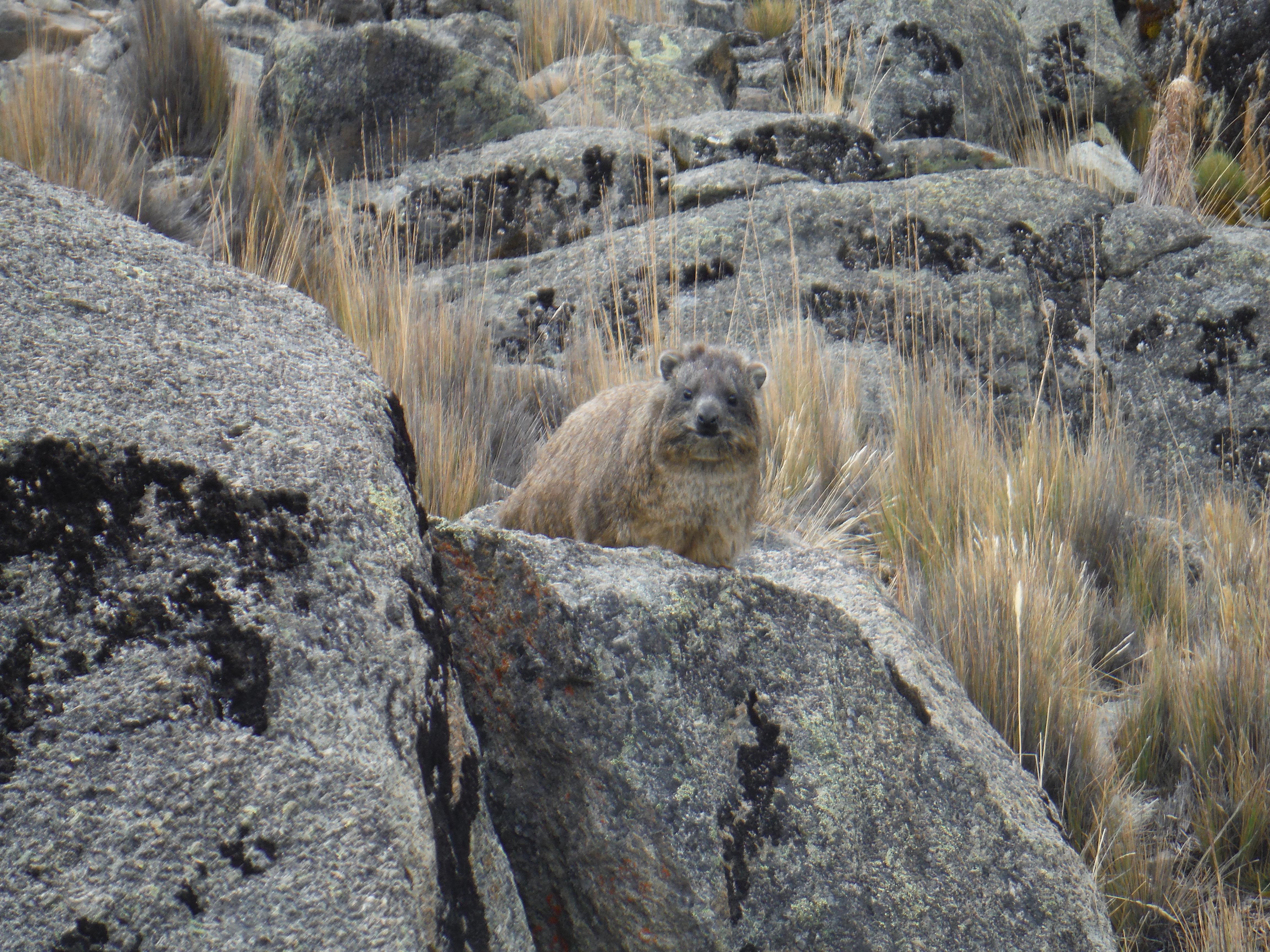 Rock hyrax in Kenya