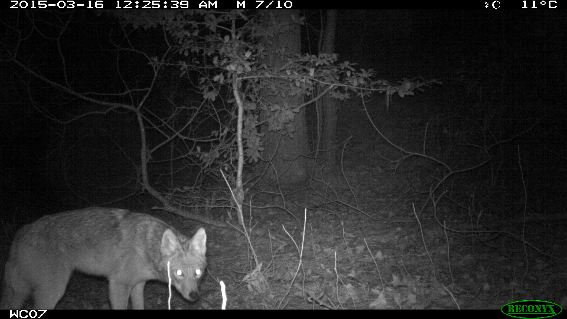 Camera trap coyote