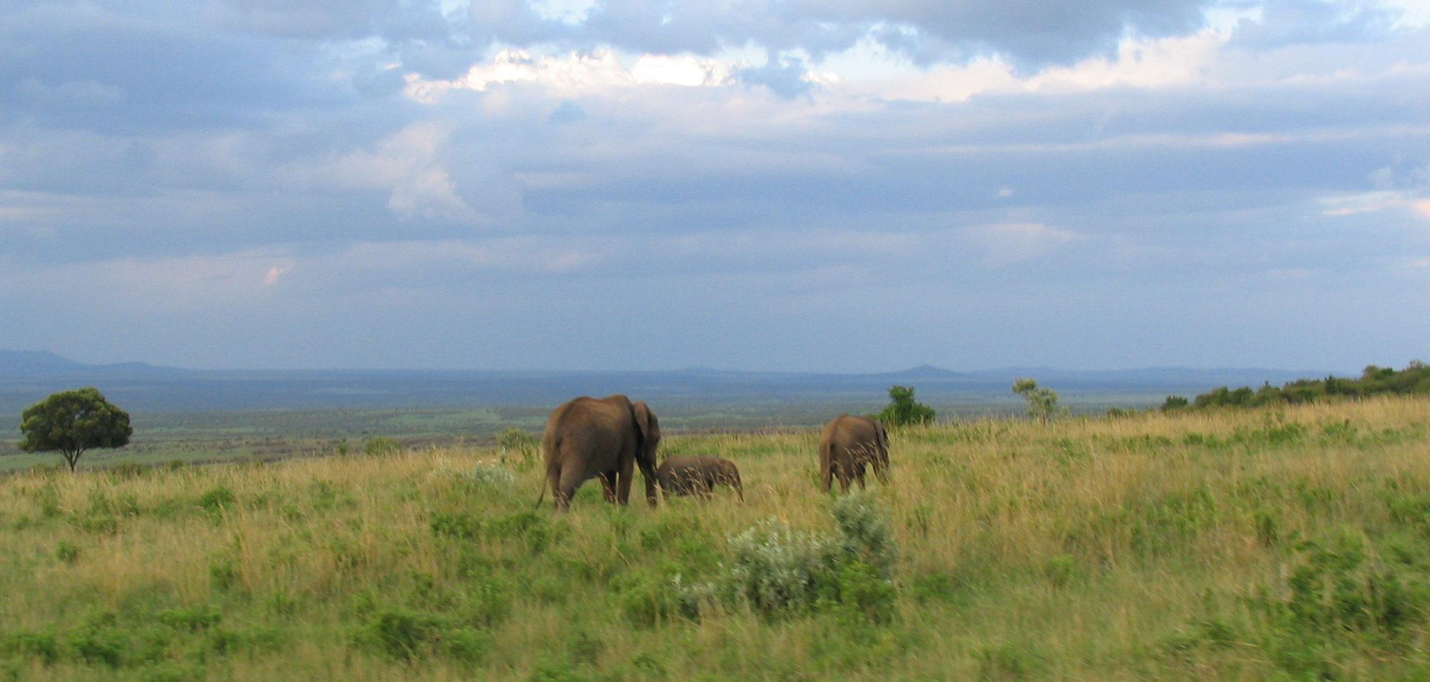 Elephants on savanna