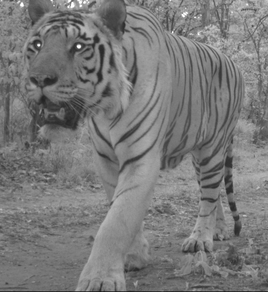 Camera trap tiger in India
