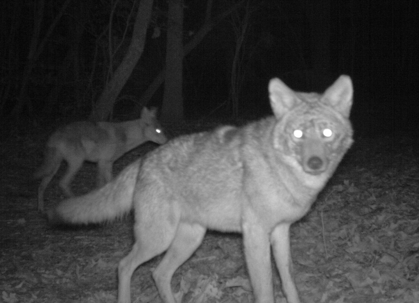 Do deer fear coyotes