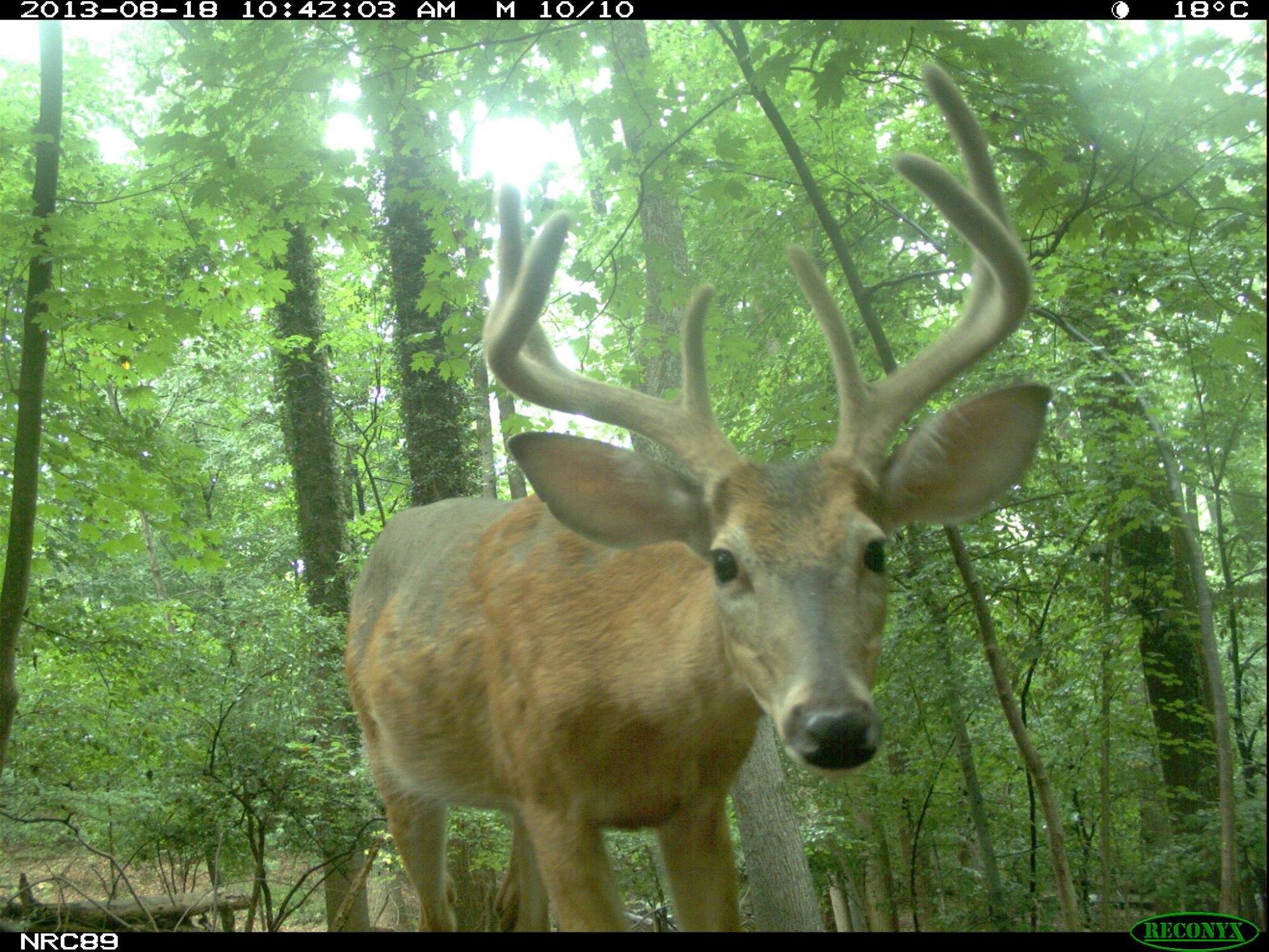 white-tailed deer looks at the camera trap