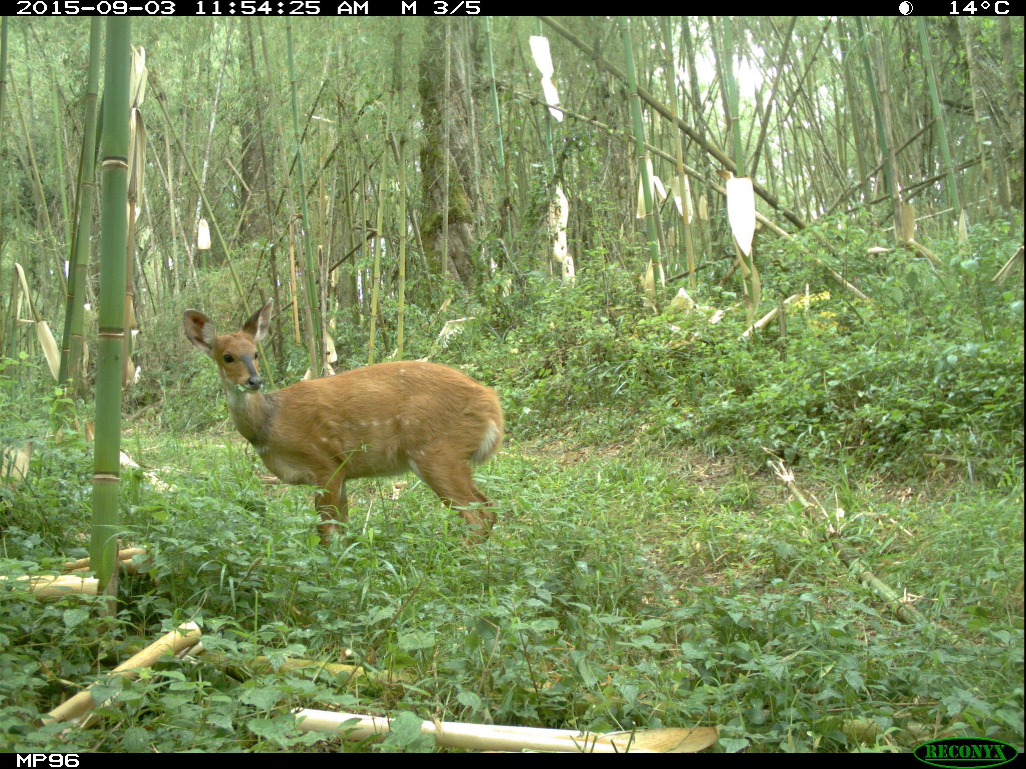 Bushbuck – A Striking Antelope