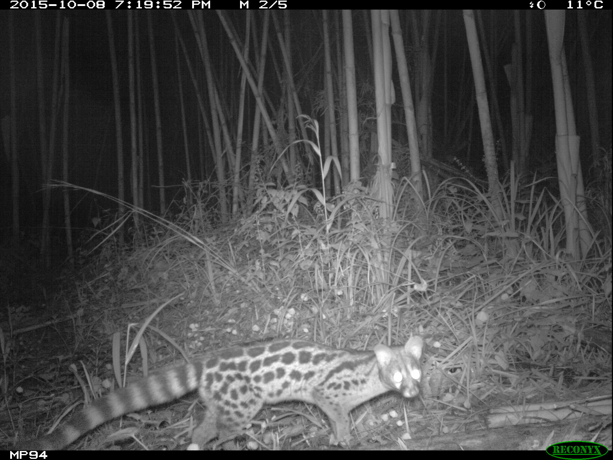 Central African Large-spotted Genet