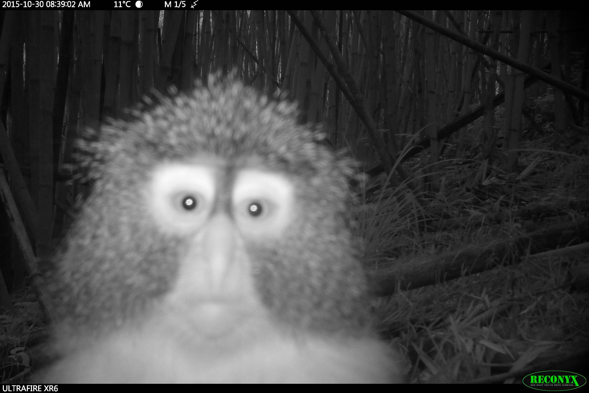 Blue Monkey – A Monkey that Looks Like an Owl