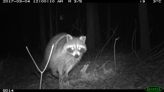 How Do Humans Impact Raccoons?