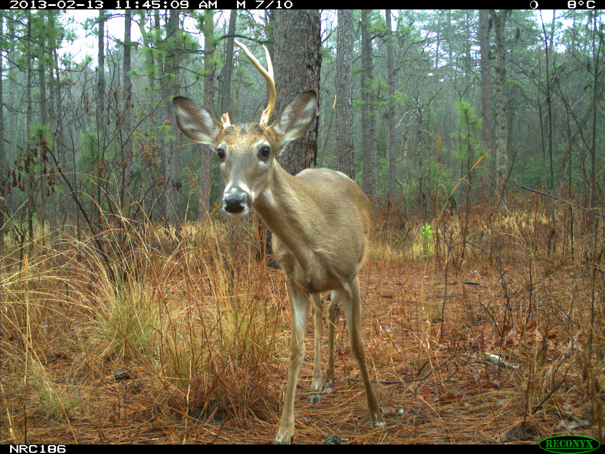 white-tailed deer in rain