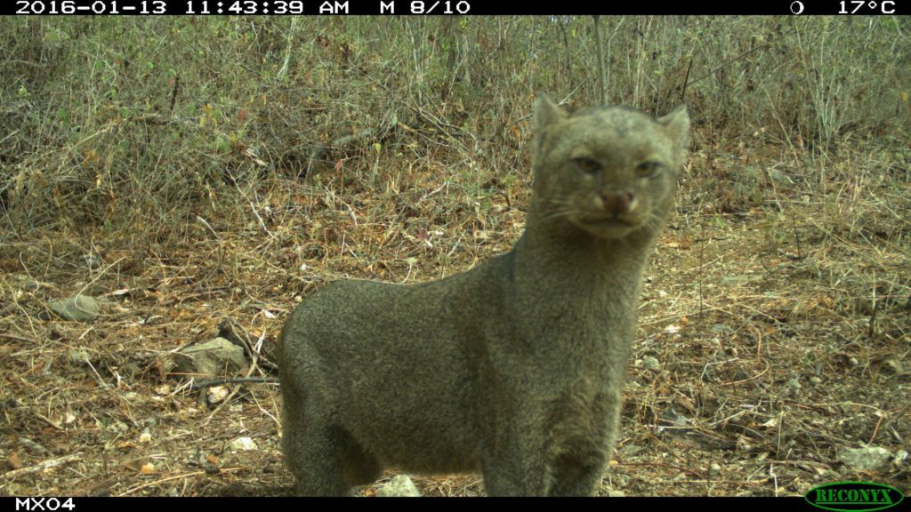 Jaguarundi camera trap photo