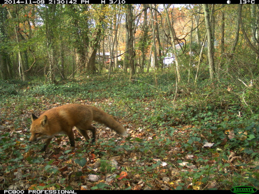 Red fox in backyard