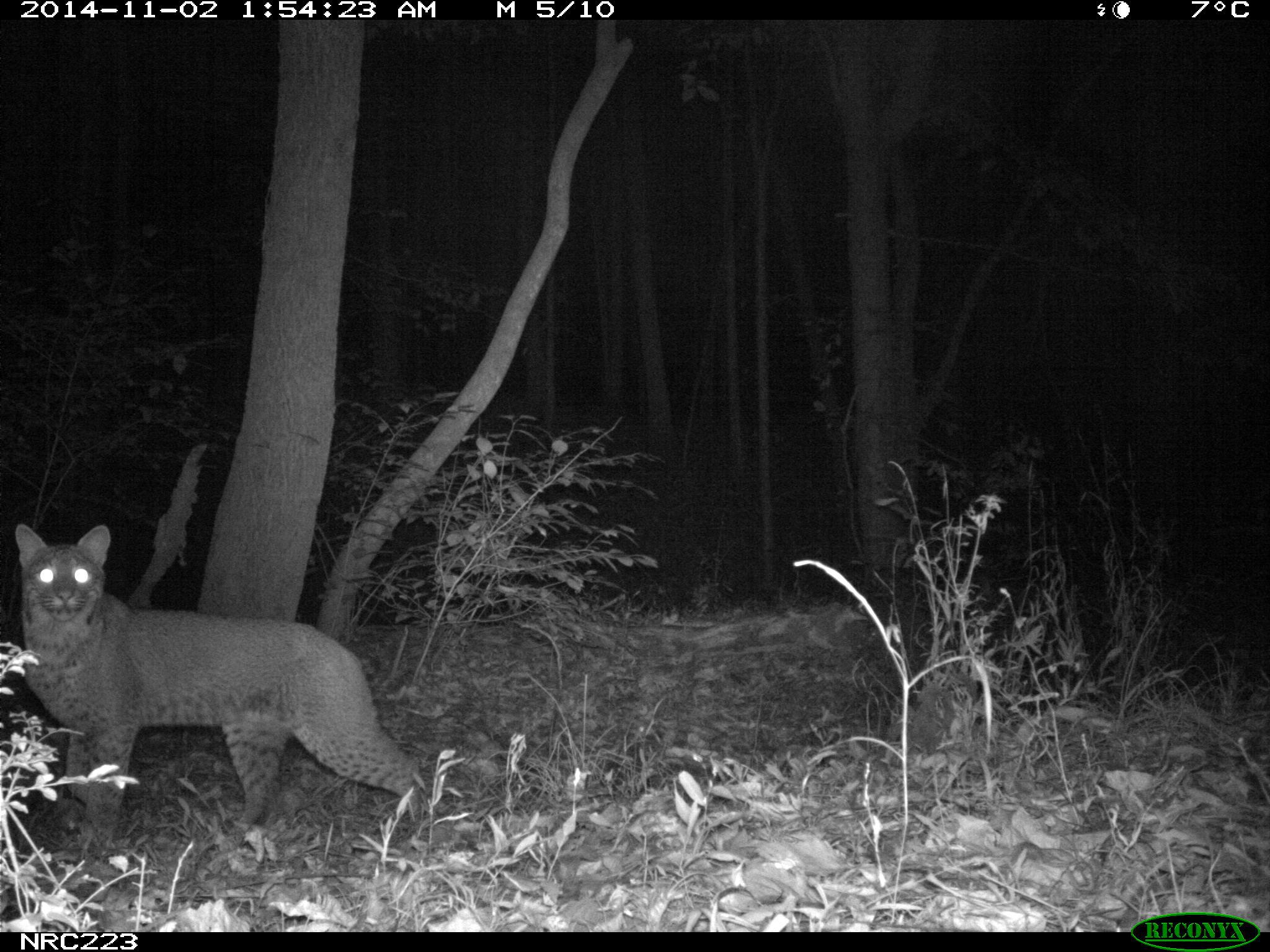 bobcat on camera trap