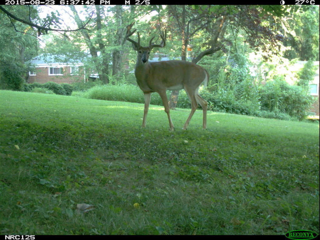 white-tailed deer in suburban yard