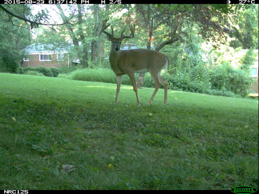white-tailed deer in suburban yard