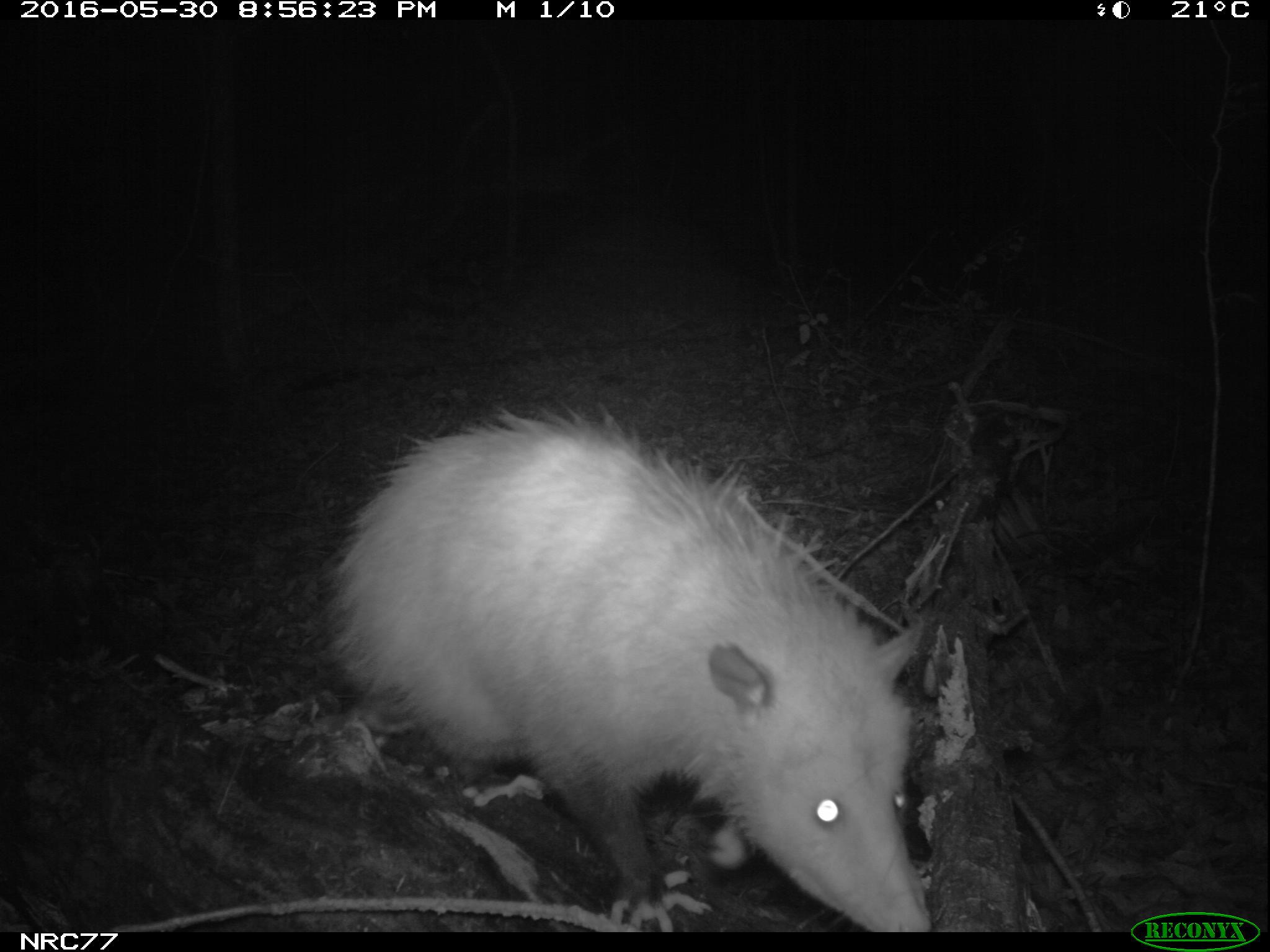 Opossum on camera trap