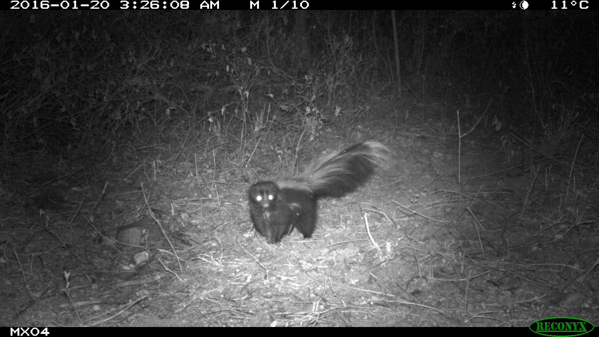 hooded skunk Camera Trap Photos from Mexico
