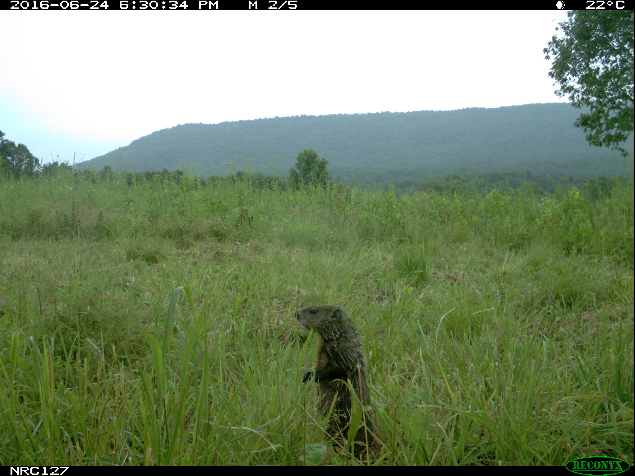 woodchuck on camera trap