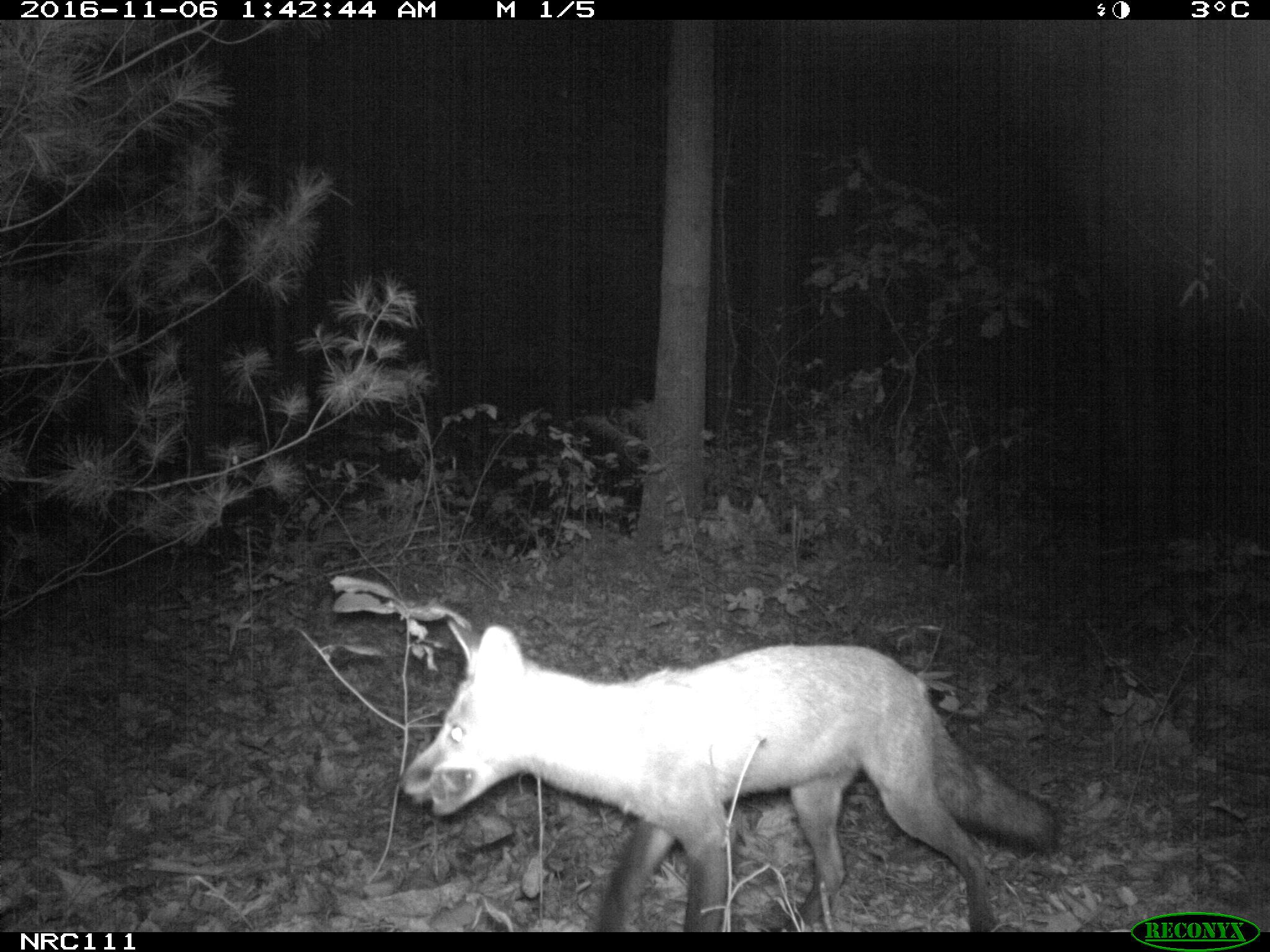 Red fox camera trap