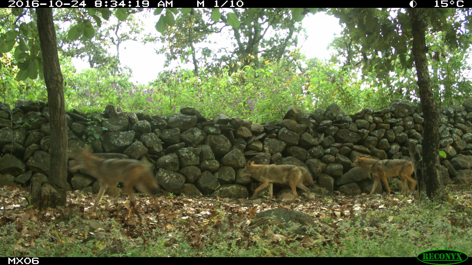 coyote Camera Trap Photos from Mexico