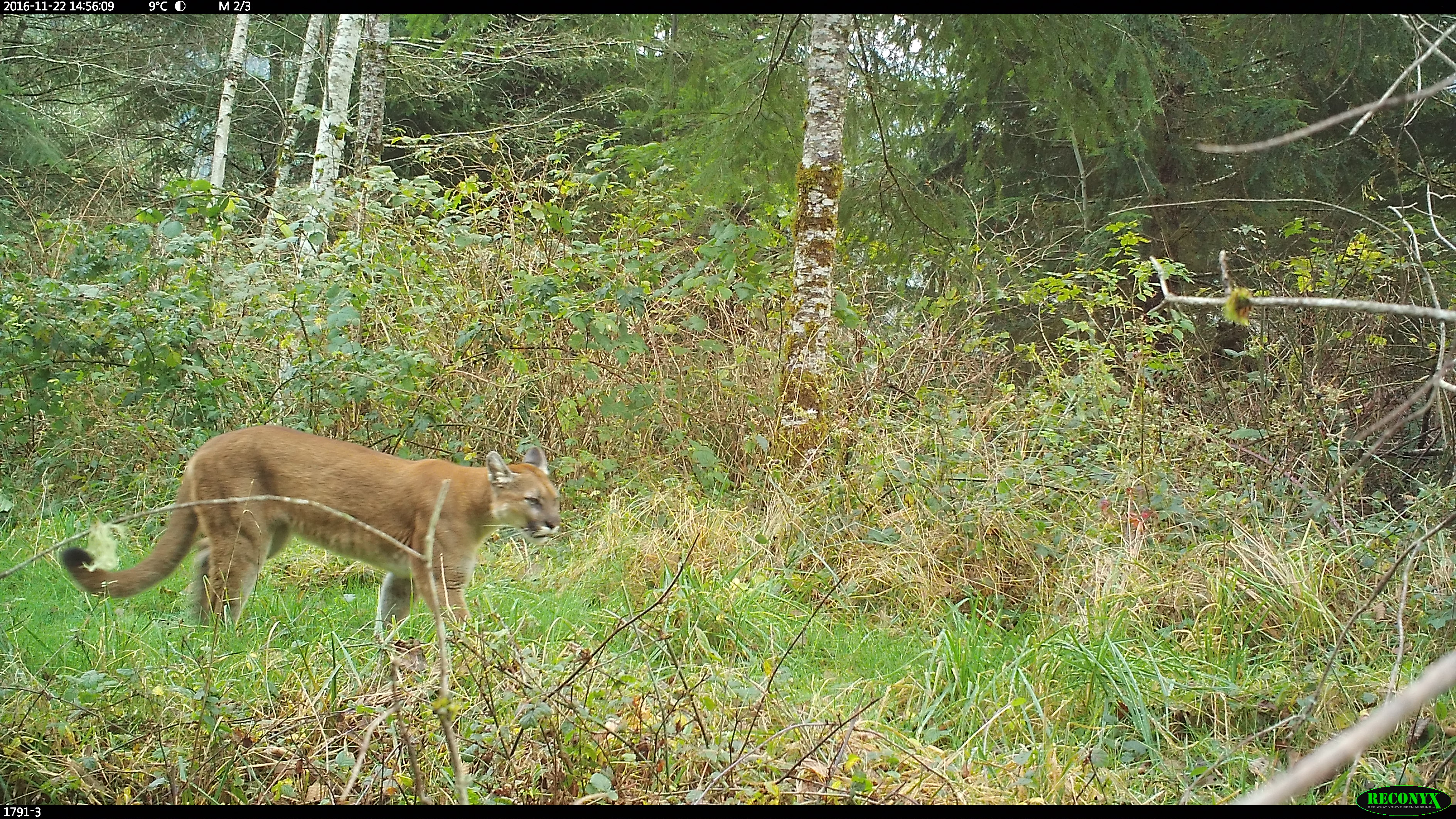 #30: Eastern Cougars? How to Know if a Species is Really There