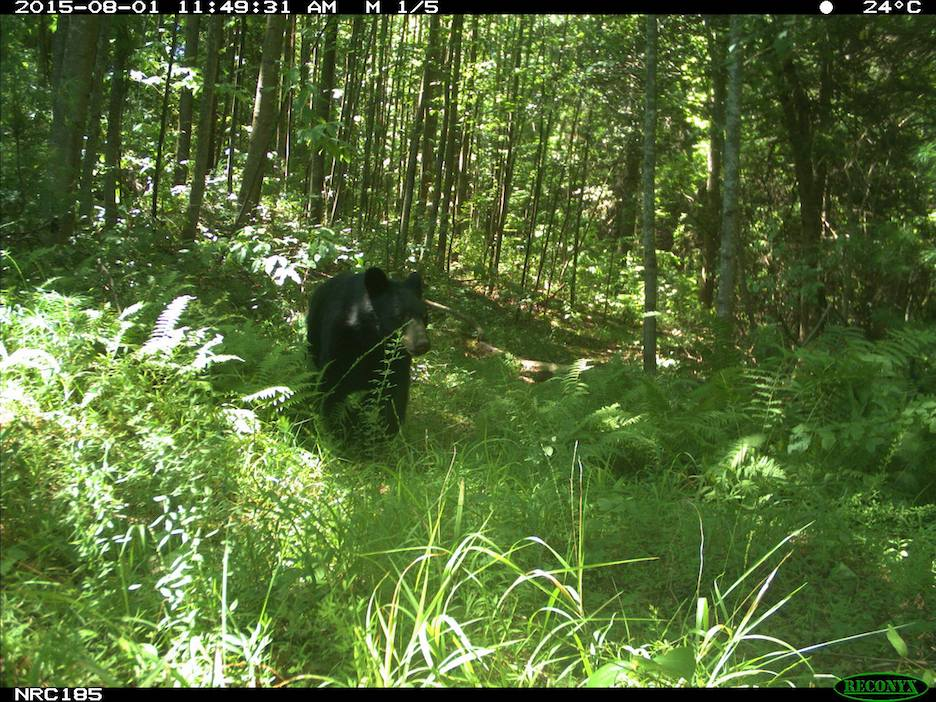 black bear in Asheville North Carolina