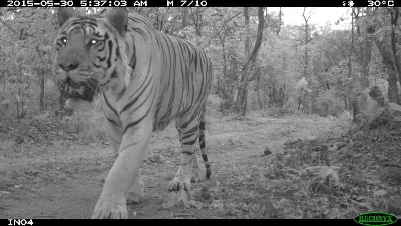 This tiger is one of my favorite camera trap photos from India