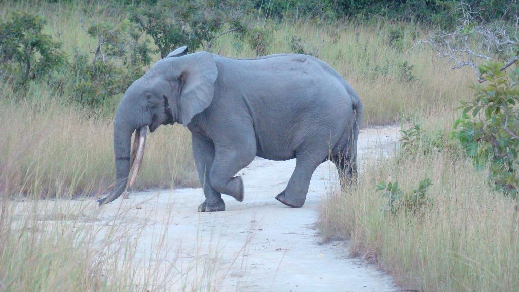 destroying ivory