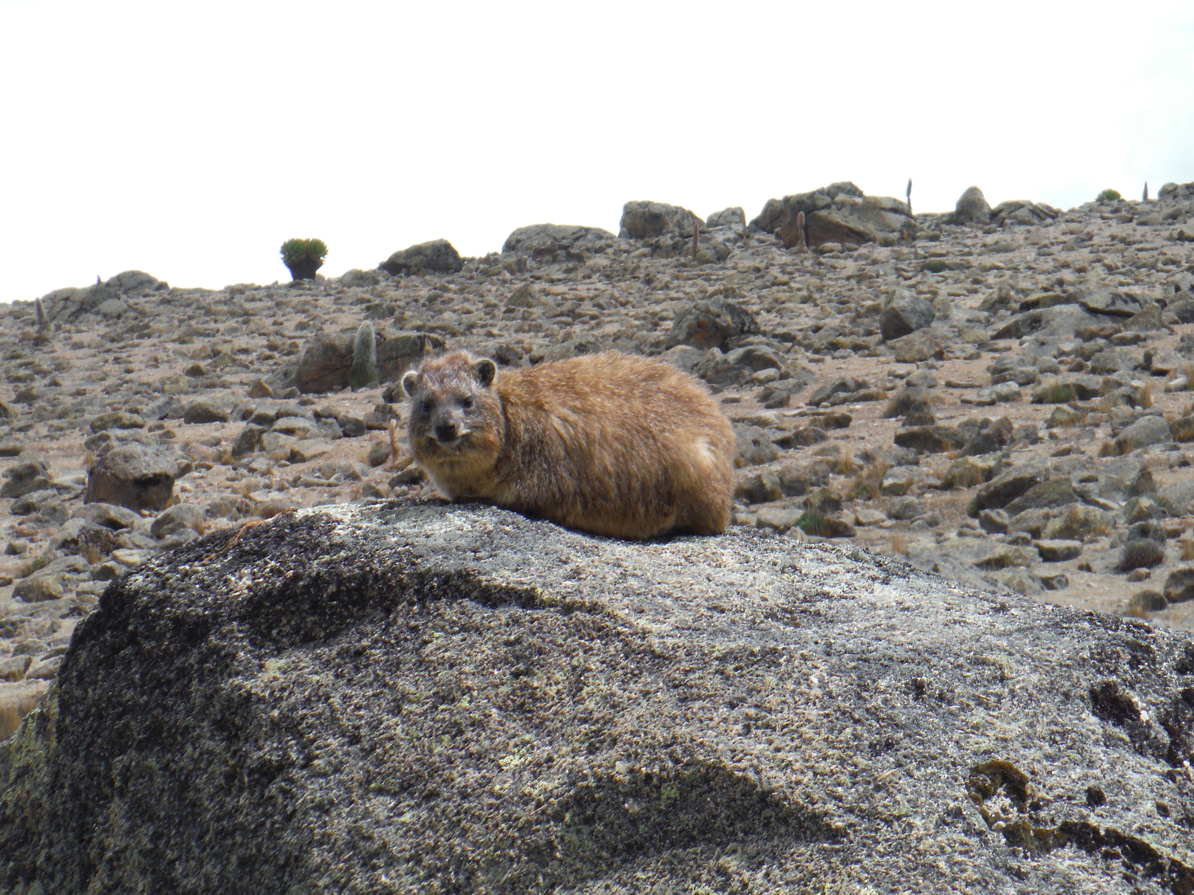 Rock Hyrax: An Unexpected Relative of Elephants