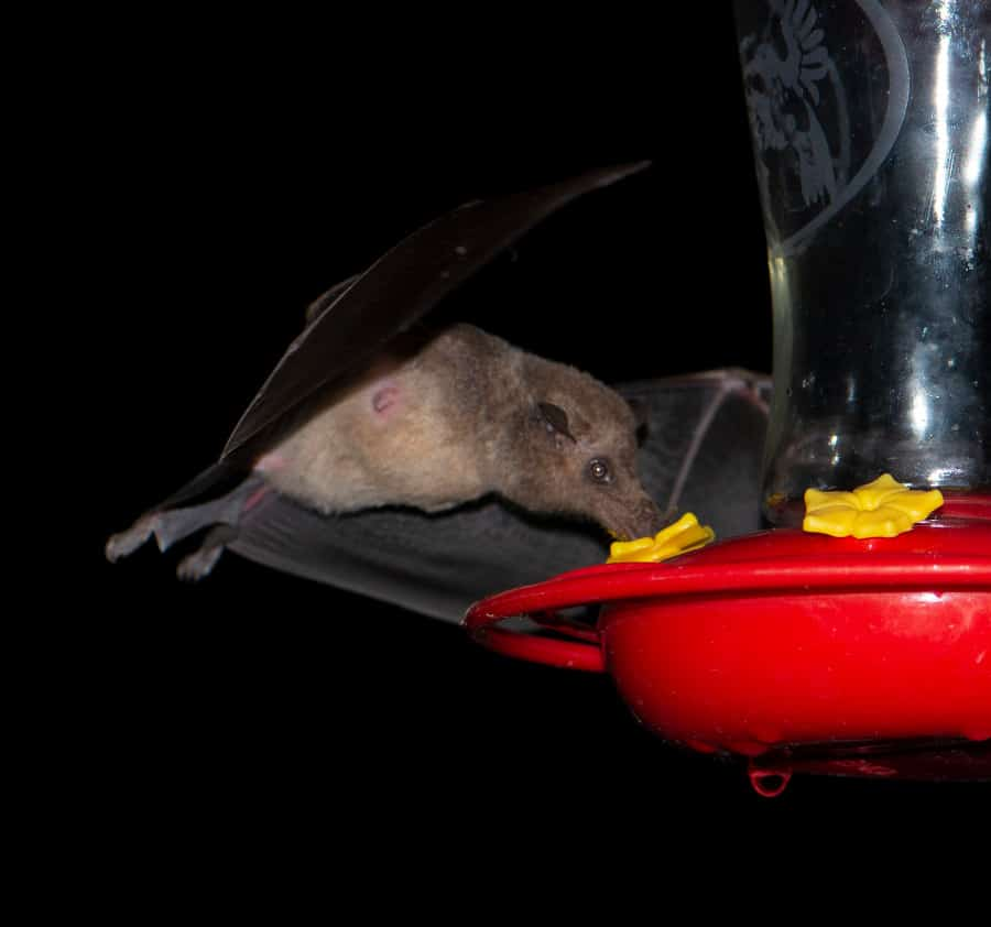 Long-tailed bat at a hummingbird feeder. Photo by Owen Ridgen on iNaturalist.