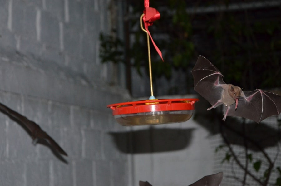 Mexican long-nosed bat. Photo by chano on iNaturalist.