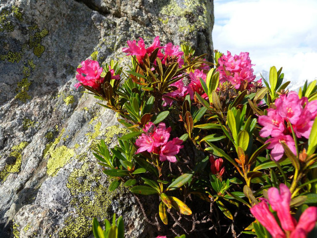 Swiss alpine rose, one of the key ingredients in Countertime, in its natural habitat. Photo by Muriel Bendel from Wikipedia.