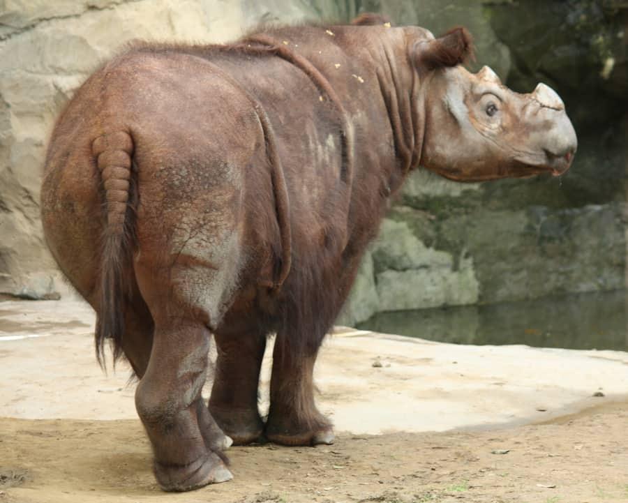 Sumatran rhinos can be really hairy! Photo by Ltshears on Wikipedia.