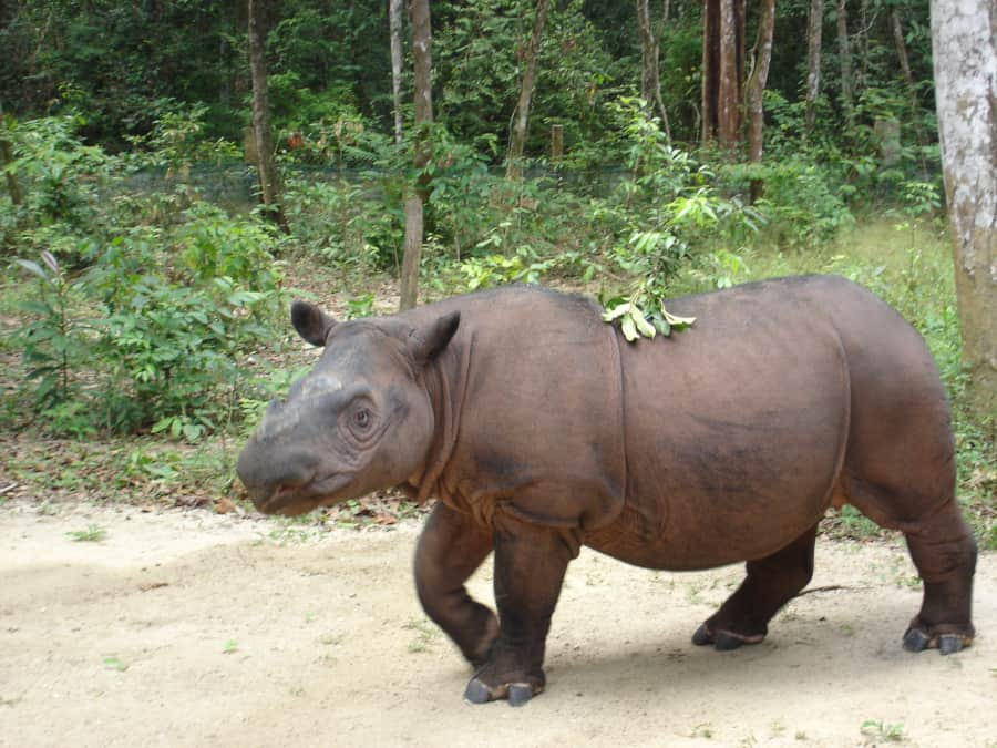 Saving the Sumatran rhino has involved creating rhino sanctuaries for captive breeding. Hopefully enough can be captive bred so they can be released to the wild. By 26Isabella in Wikipedia.