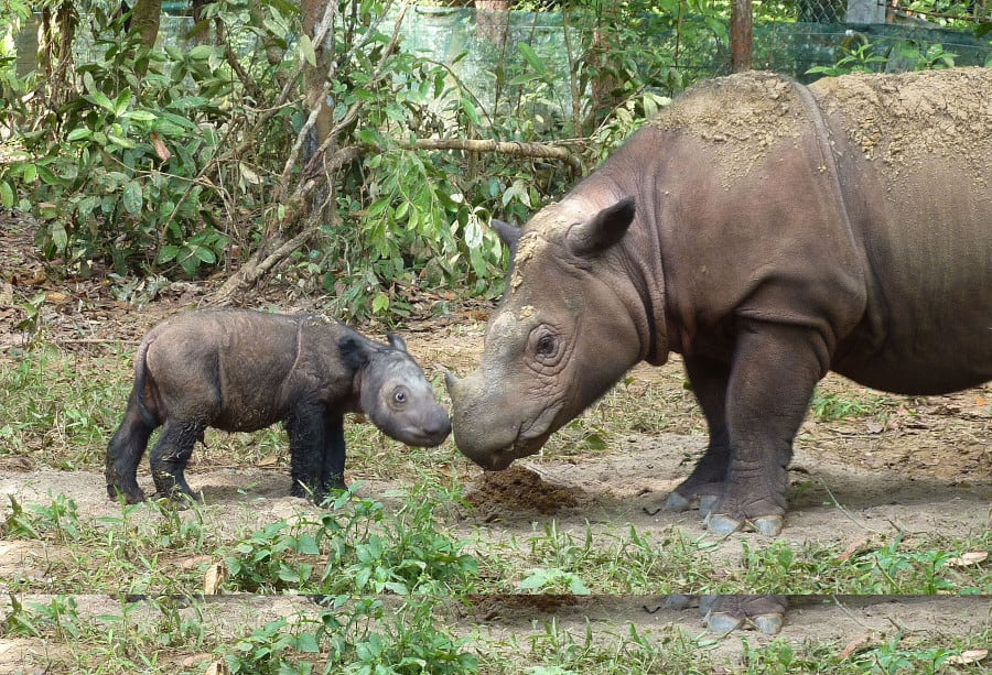 Saving the Sumatran rhinoceros has been difficult for scientists. Reproduction has been difficult, but there have been some successful births. Photo by S. Ellis on Wikipedia.