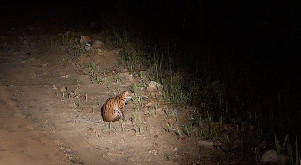 Leopard cat by the Road in Deramakot