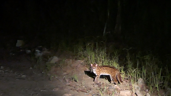 Leopard cat we saw in Deramakot