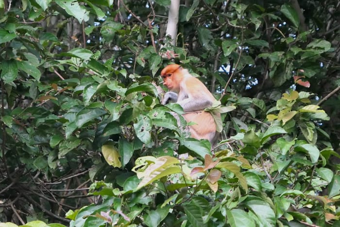 A proboscis monkey we saw on the Kinabatangan River. This one is either a female or a juvenile. You can definitely tell the difference between them and the alpha males.