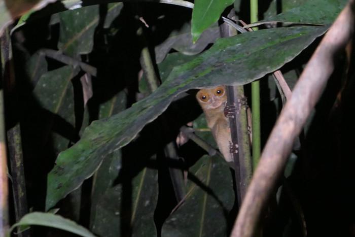 Western tarsier we saw in Deramakot Forest, Borneo, Malaysia.