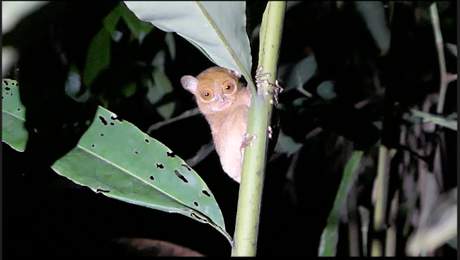 We were so lucky to see a western tarsier so clearly!