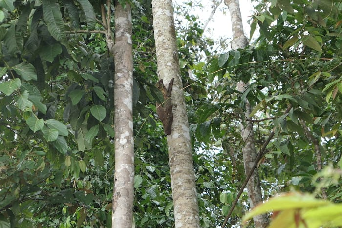 Colugo on the Kinabatangan River.