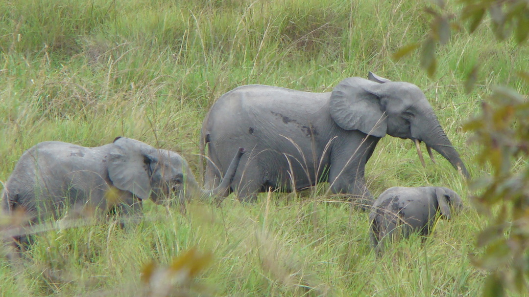 African forest elephant family group